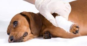 Injured-Dog2-300x157